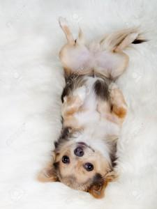 11693914-白いふわふわの毛皮に背中の上に横たわるチワワ子犬